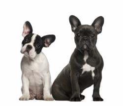 7aa93d3040a8 French Bulldog - Γαλλικό Μπουλντόγκ   getpet.gr
