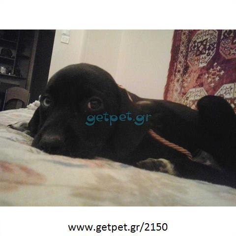 163c00151584 Δίνεται για υιοθεσία - χαρίζεται ημίαιμη σκυλίτσα Pointer - Πόιντερ ...