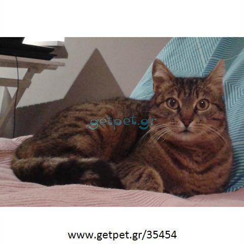 8baeeef597cb Δίνεται για υιοθεσία - χαρίζεται γάτα British Shorthair - Βρετανική  Κοντότριχη