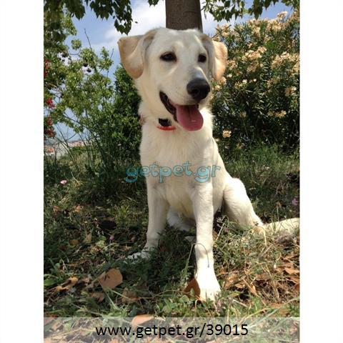 8d739562b200 Δίνεται για υιοθεσία - χαρίζεται ημίαιμη σκυλίτσα Labrador Retriever - Λαμπραντόρ  Ριτρίβερ