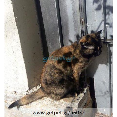 8fa2b2641dce Δίνεται για υιοθεσία - χαρίζεται ημίαιμη γάτα British Shorthair - Βρετανική  Κοντότριχη