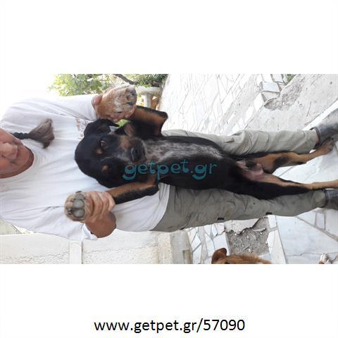 53a7df257b90 Δίνεται για υιοθεσία - χαρίζεται ημίαιμος σκυλάκος Griffon - Γκριφόν ...