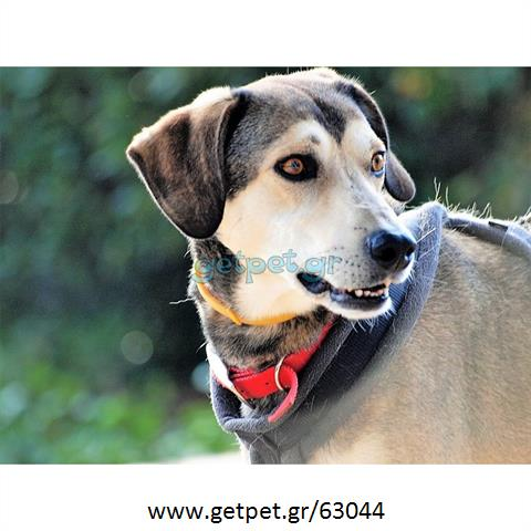 27f14fff69e9 Δίνεται για υιοθεσία - χαρίζεται ημίαιμος σκυλάκος   Αγγελία 63044 ...