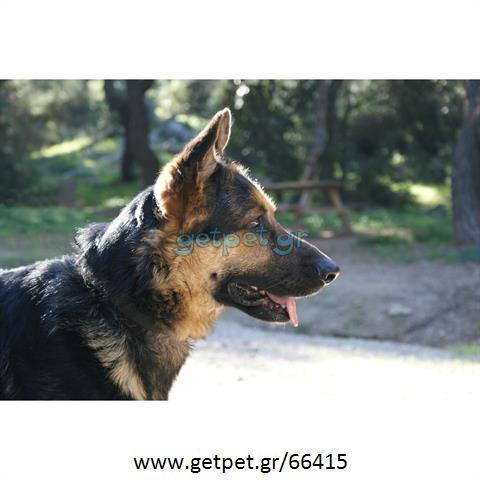 d486bb6bf37a Δίνεται για υιοθεσία - χαρίζεται ημίαιμος σκυλάκος German Shepherd -  Γερμανικός Ποιμενικός - Λυκόσκυλο