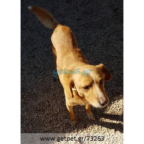 9138d2b3bd59 Δίνεται για υιοθεσία - χαρίζεται ημίαιμος σκυλάκος   Αγγελία 73263 ...