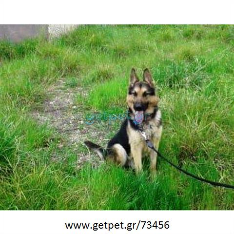 e2cf56cef520 Δίνεται για υιοθεσία - χαρίζεται σκυλάκος German Shepherd - Γερμανικός  Ποιμενικός - Λυκόσκυλο