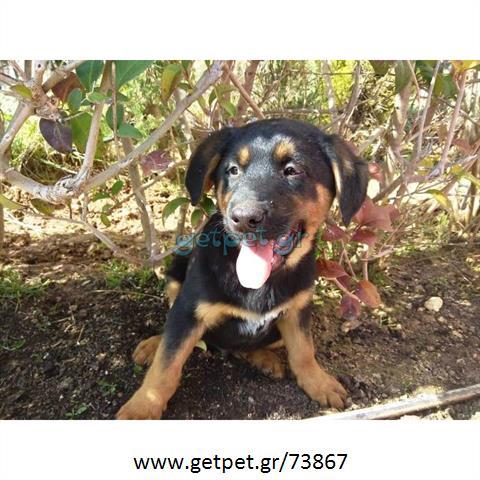 ae6eb76febf0 Δίνεται για υιοθεσία - χαρίζεται ημίαιμο κουτάβι Rottweiler - Ροτβάιλερ