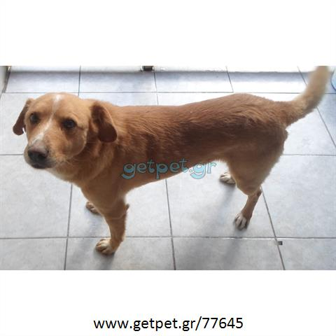 2f453eff7ced Δίνεται για υιοθεσία - χαρίζεται ημίαιμος σκυλάκος Greek Kokoni - Κοκόνι