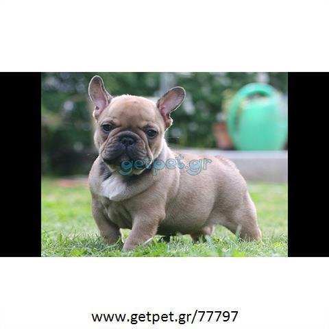 381d8fe2d762 Δίνεται για υιοθεσία - χαρίζεται κουτάβι French Bulldog - Γαλλικό Μπουλντόγκ