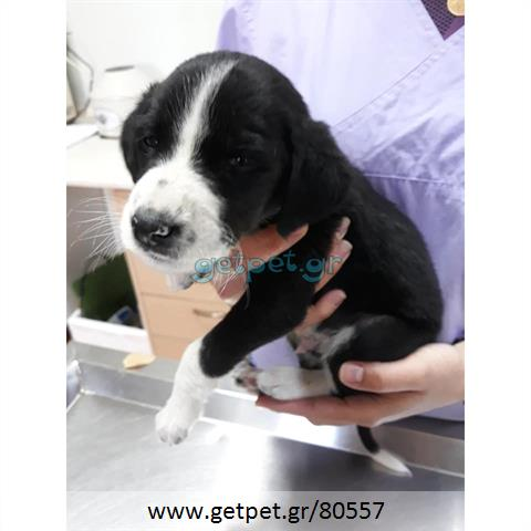 b3950311bf04 Δίνεται για υιοθεσία - χαρίζεται ημίαιμο κουτάβι Beagle - Μπηγκλ ...