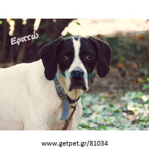 59c857cb8ae0 Δίνεται για υιοθεσία - χαρίζεται σκυλίτσα Pointer - Πόιντερ ...