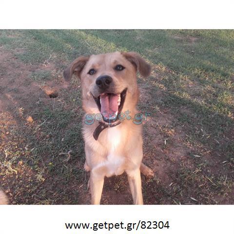 b564f73ca08a Δίνεται για υιοθεσία - χαρίζεται ημίαιμος σκυλάκος Labrador Retriever - Λαμπραντόρ  Ριτρίβερ